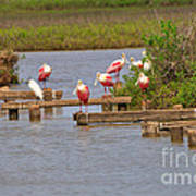 Roseate Spoonbills And Snowy Egrets Poster