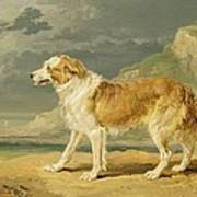 Rough-coated Collie Poster