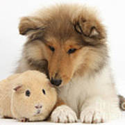 Rough Collie Pup And Yellow Guinea Pig Poster