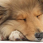 Rough Collie Pup Poster