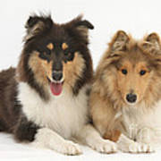 Rough Collies Poster