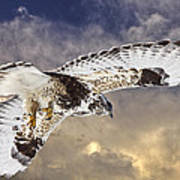 Rough Legged Hawk In Flight Poster