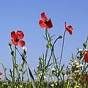 Rough Poppy (papaver Hybridum) Poster