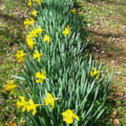 Row Of Daffodils Poster