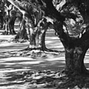 Row Of Oaks - Black And White Poster