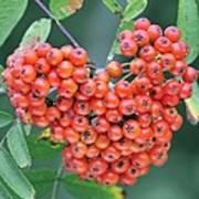 Rowan Berries Poster