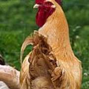 Royal Golden Rooster 1 Poster