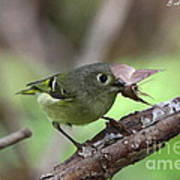 Ruby-crowned Kinglet Nabs A Moth Poster