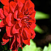 Ruby Red Dahlia Poster
