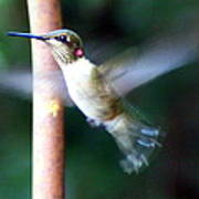 Ruby Throated Hummer In Flight Poster