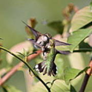 Ruby-throated Hummingbird - An Altercation Poster
