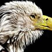 Ruffled Bald Eagle Poster