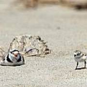 Run Little One  Piping Plover Poster