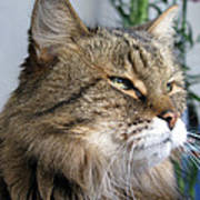 Runcius- My King Kitty Enjoying The Sunshine Poster
