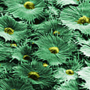 Russian Silverberry Leaf  Poster