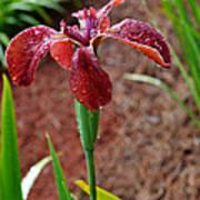 Rust Colored Beardless Iris Poster
