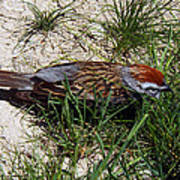 Rusty Capped Sparrow Poster
