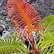 Sadleria Fern Hawaii Poster