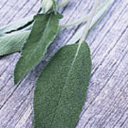 Sage Leaves Poster