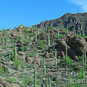 Saguara National Forest Protected Cactus Poster