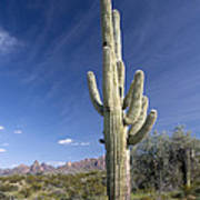 Saguaro Cactus (carnegiea Gigantea) Poster