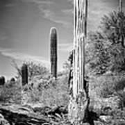 Saguaro Skeleton Bw Poster