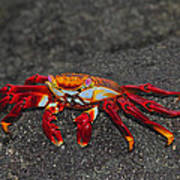 Sally Lightfoot Crab Poster by Tony Beck