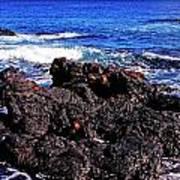 Sally Lightfoot Crabs On Basalt Poster