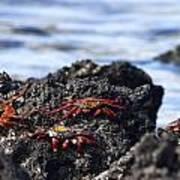 Sally Lightfoot Crabs Poster