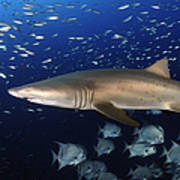 Sand Tiger Shark Swimming In Blue Water Poster