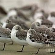 Sanderlings Try To Keep Warm At Corporation Beach In Dennis On C Poster