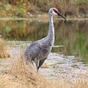 Sandhill Crane Beauty By The Pond Poster