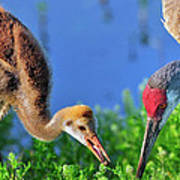 Sandhill Cranes Having Breakfast Poster
