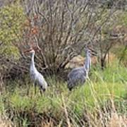 Sandhill Cranes In Colorful Marsh Poster