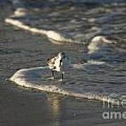Sandpiper On Beach Poster