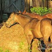 Sandy Eating Hay Poster