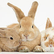 Sandy Rabbit And Babies Poster