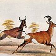 Sassaby And Hartebeest, Poster