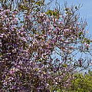 Saucer Magnolia Or Tulip Tree Magnolia X Soulangeana Poster