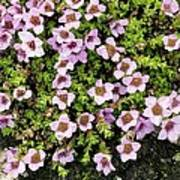 Saxifraga Oppositifolia Flowers Poster