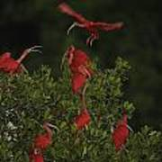 Scarlet Ibises Roost In A Red Mangrove Poster