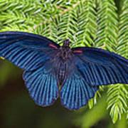 Scarlet Swallowtail Poster by Joann Vitali