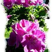 Scented Geraniums Poster