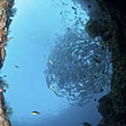School Of Trevally Seen Through Hole Poster