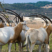Scimitar-horned Oryx Poster