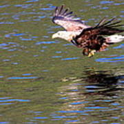 Sea Eagle's Water Landing Poster