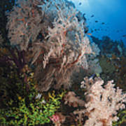 Sea Fan On Soft Coral In Raja Ampat Poster