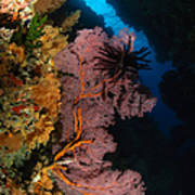 Sea Fans And Crinoid, Fiji Poster