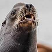 Sea Lion And Yellow Fangs Poster