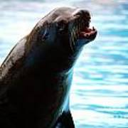 Sea-lion Poster